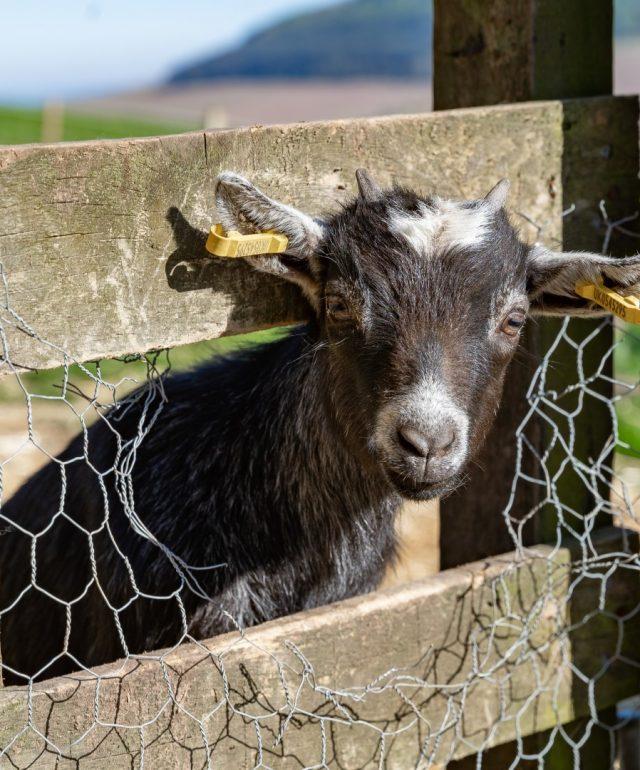 Meet our Pygmy Goats at Balmeadowside